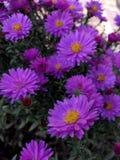 Bei crisantemi viola immagini stock libere da diritti