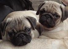 Bei cuccioli del carlino che vi esaminano fotografia stock libera da diritti