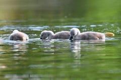 Bei cuccioli del cigno allo stagno Bello fondo colorato naturale con gli animali selvatici primavera Fotografia Stock