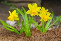 Bei daffodils gialli nasals Fotografie Stock