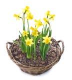 Bei Daffodils sopra bianco Fotografia Stock