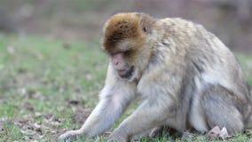 Bei della scimmia di fine macachi di Barbary su - stock footage