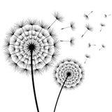 Bei denti di leone dei fiori in bianco e nero Fotografia Stock