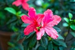 Bei due fiori rosa del unknow Fine in su fotografia stock
