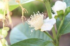 Bei e fiori di fioritura luminosi della guaiava fotografia stock libera da diritti