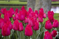 Bei e tulipani variopinti nel parco fotografia stock libera da diritti