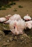 Bei fenicotteri americani sull'inglese in nido Fotografie Stock Libere da Diritti