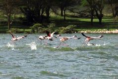 Bei fenicotteri che camminano sopra l'acqua Immagini Stock