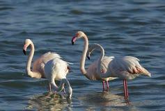 Bei fenicotteri che si alimentano e che stanno nel mare del Bahrain Immagini Stock Libere da Diritti