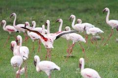 Bei fenicotteri nel lago Naivasha Fotografie Stock Libere da Diritti