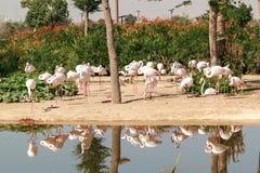Bei fenicotteri nel parco di safari del Dubai fotografia stock libera da diritti