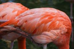 Bei fenicotteri rosa nello zoo Fotografia Stock Libera da Diritti