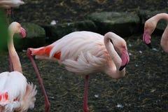 Bei fenicotteri rosa nello zoo Immagine Stock Libera da Diritti