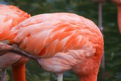 Bei fenicotteri rosa nello zoo Immagini Stock
