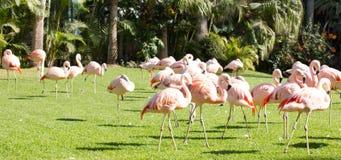 Bei fenicotteri rosa su prato inglese, Loro Parque, Tenerife, Spagna Immagine Stock Libera da Diritti