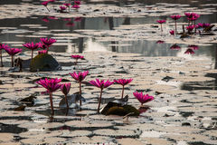 Bei fiori alla libbra dell'entrata principale di Angkor Wat Cambodia. Sud-est asiatico. Immagini Stock