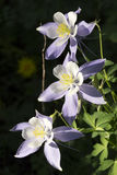 Bei fiori alpini di colombina di Colorado lungo la traccia di escursione della montagna di Vail Immagini Stock Libere da Diritti