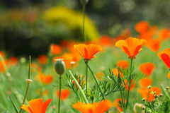 Bei fiori arancio Fotografia Stock