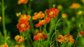 Bei fiori arancio del giardino Fotografia Stock