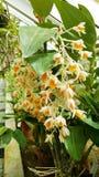 Bei fiori arancio di fioritura dell'orchidea Fotografia Stock