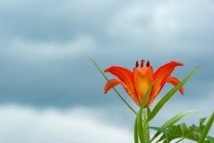 Bei fiori arancio di fioritura selvaggi del giglio sul fondo del cielo blu fotografia stock