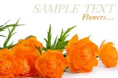 Bei fiori arancio isolati su bianco Fotografia Stock