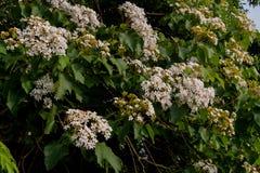 Bei fiori bianchi che fioriscono sul fiore dell'albero del ˆtung del ¼ del treeï fotografie stock