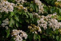 Bei fiori bianchi che fioriscono sul fiore dell'albero del ˆtung del ¼ del treeï immagine stock