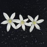 Bei fiori bianchi con le gocce di pioggia su un fondo nero Fotografia Stock Libera da Diritti