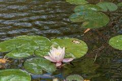 Bei fiori bianchi delle ninfee Fotografia Stock Libera da Diritti