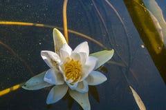 Bei fiori bianchi delle ninfee Immagini Stock
