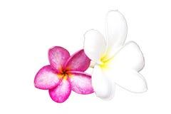 Bei fiori bianchi e rosa di plumeria rubra isolati su briciolo Immagine Stock