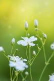 Bei fiori bianchi freschi, backgroun floreale vago astratto Immagini Stock Libere da Diritti