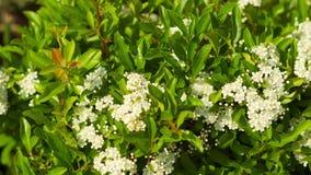 Bei fiori bianchi in tempo soleggiato archivi video