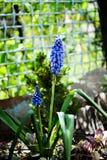 Bei fiori blu del muscari immagine stock libera da diritti