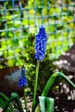 Bei fiori blu del muscari immagini stock
