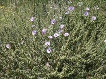 Bei fiori a campana rosa in primavera fotografia stock