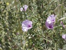Bei fiori a campana rosa in primavera immagini stock