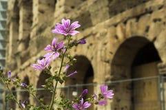 Bei fiori con Colosseum antico sui precedenti Belle vecchie finestre a Roma (Italia) Immagine Stock