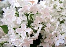 Bei fiori dei fiori bianchi lilla fotografia stock