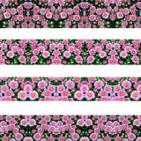 Bei fiori dei crisantemi senza cuciture Fotografie Stock