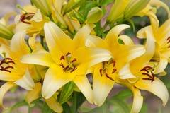 Bei fiori dei gigli gialli Fotografia Stock Libera da Diritti