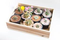 Bei fiori del cactus della Tailandia Immagini Stock