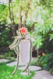 Bei fiori del cactus della Tailandia Immagini Stock Libere da Diritti