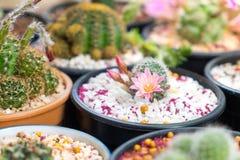 Bei fiori del cactus della Tailandia Fotografia Stock Libera da Diritti