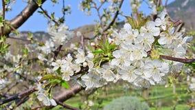 Bei fiori del ciliegio che fioriscono in molla in anticipo video d archivio