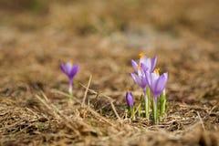 Bei fiori del croco in montagne di Beskidy immagini stock libere da diritti