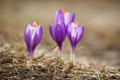 Bei fiori del croco in montagne di Beskidy immagine stock libera da diritti