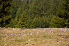 Bei fiori del croco in montagne di Beskidy fotografia stock