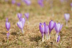 Bei fiori del croco in montagne di Beskidy fotografie stock libere da diritti